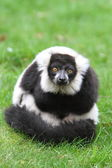 Black and white ruffed lemur(Varecia veriegata) — ストック写真
