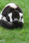 Black and white ruffed lemur(Varecia veriegata) — Стоковое фото