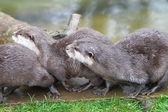 Orientaliska små klor otter — Stockfoto
