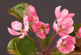 Crab apple blossom — Stock Photo