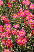 Helianthemum — Stock Photo