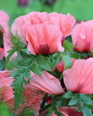 Oriental poppy (Papaver orientale ) — Photo
