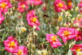 Pink helianthemum, rock rose — Stock Photo