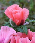 Oriental poppy (Papaver orientale ) — Stock Photo
