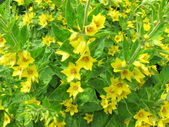 Yellow loosestrife — Stock Photo