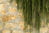 Wall of stone with rosemary — Stok fotoğraf
