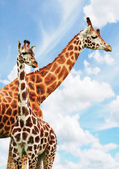 Giraffes — Stock Photo