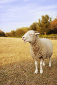 Curly tup — Stock Photo
