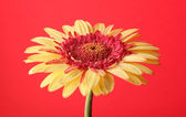 Yellow on red — Stock Photo