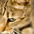 Stock Photo: Cat Close Up