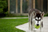 Husky Puppy — Stock Photo