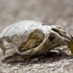 Rodent Skull — Stock Photo #22522413