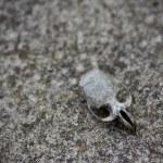 Rodent Skull — Stock Photo #22522745