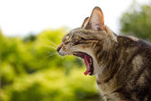 Cat Yawning — Stock Photo