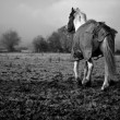 Stock Photo: Horse In Field
