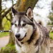 Stock Photo: Husky Dog