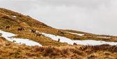 Red deer in Scottish Highlands — Fotografia Stock