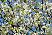 Kvetoucí jabloň — Stock fotografie