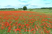 Corn poppy field — Stock Photo