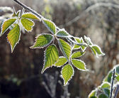 Hoarfrost on the leaves — Stock Photo