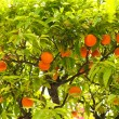 Mandarin tree — Photo