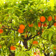 图库照片: Mandarin tree
