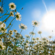 Camomiles in a rays of midday sun — Stock Photo