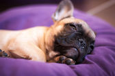 Small sleeping French bulldog, puppy — Stock Photo