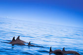 Dolphins float in blue water. Maldives — Stock Photo