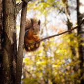 リス、秋、乾燥葉 — ストック写真