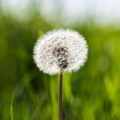 Spring dandelion on green natural background — Stock Photo