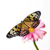 Mooie vlakte tijger vlinder zitstokken op roze bloem — Stockfoto