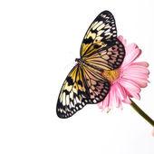 Mariposa hermosa llano tigre perchando en flor rosa — Foto de Stock