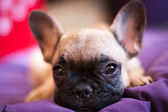 Small French bulldog — Stock Photo