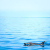 Fin of a dolphin — Stock Photo