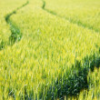 Grain field — Stockfoto #22555709