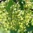 Currant — Stock Photo #26104513