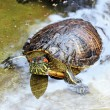 Red-eared Slider (Trachemys scripta elegans) in water — Stock Photo #27033701