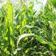 Corn plantation — Stock Photo #29004207