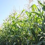玉米人工林 — 图库照片