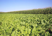 Plantation of sugar beet — Stock Photo