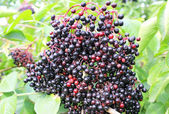 Detail of elderberry — Foto Stock