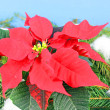 Stock Photo: Poinsettiis traditional Christmas Flower.