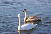 Bílé labutě, plavání na řece na zimu — Stock fotografie