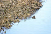 Wild ducks floating on the river in winter — Stock Photo