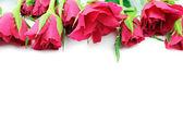 Růže červené na bílém pozadí — Stock fotografie
