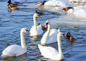 The white swans swimming on the river at winter — Stock Photo