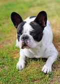 Francouzský buldok štěně na trávě — Stock fotografie