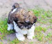 Young dog Shih Tzu — Стоковое фото
