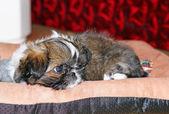 Young dog Shih Tzu — Stock Photo